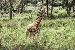 Wild giraffe Royalty Free Stock Photos