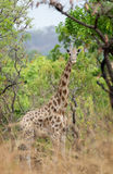 Wild Giraffe Giraffa camelopardalis ssp. antiquorum in Benoue National park, Cameroon. During a scientific research monitoring we tried to identify some Royalty Free Stock Photos