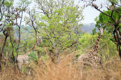 Wild Giraffe Giraffa camelopardalis ssp. antiquorum in Benoue National park, Cameroon. During a scientific research monitoring we tried to identify some Royalty Free Stock Photography