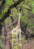 Wild Giraffe Giraffa camelopardalis ssp. antiquorum in Benoue National park, Cameroon. Royalty Free Stock Photo