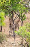 Wild Giraffe Giraffa camelopardalis ssp. antiquorum in Benoue National park, Cameroon. Royalty Free Stock Images