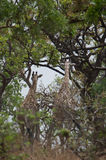 Wild Giraffe Giraffa camelopardalis ssp. antiquorum in Benoue National park, Cameroon. During a scientific research monitoring we tried to identify some Royalty Free Stock Photo