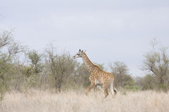 Wild giraffe in the heart of savannah, Kruger national park, SOUTH AFRICA Royalty Free Stock Photo