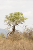 Wild giraffe hiding behind a tree at Kurger, South Africa Stock Photo