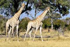Wild giraffe Stock Photos