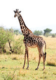 Wild giraffe Royalty Free Stock Photos