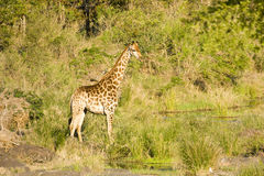 Wild giraffe, Kruger national park, SOUTH AFRICA Royalty Free Stock Images