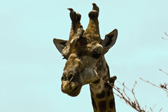 Wild giraffe, oxpeckers on its head, Kruger national park, SOUTH AFRICA Royalty Free Stock Image