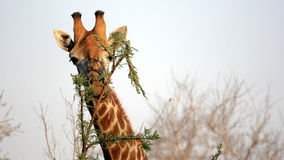 Wild Giraffe Portrait, Sabi Sands Game Reserve Stock Photography