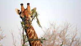 Free Wild Giraffe Portrait, Sabi Sands Game Reserve Stock Photography - 19191072
