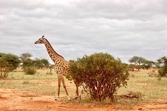 Wild giraffe on safari. Big wild giraffe on the safari in Kenya. Tsavo East safari park Stock Images