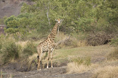 A Wild giraffe standing in the riverbank , Kruger National park, South Africa Stock Photos