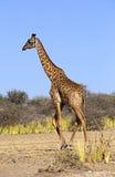 Wild african giraffe Stock Photos
