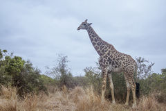 Wild giraffe walking in savannah, in Kruger National park Stock Images