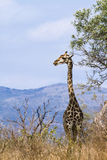 Wild giraffe walking in savannah, in Kruger National park, South Africa Stock Images