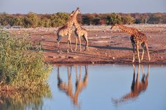 Wild giraffes in Etosha National Park in Namibia. Wild giraffes drinking water on sunset, Etosha National Park in Namibia Royalty Free Stock Image