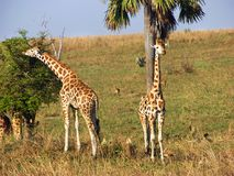 Wild giraffes feeding on savanna plains nature reserve Uganda, Africa. While on safari in Africa and driving through the beautiful savanna plains of the Royalty Free Stock Image