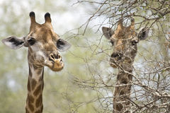 Wild giraffes in Kruger national park, SOUTH AFRICA. Wild giraffes standing in front of a tree, in the bush , wild, Kruger national park, South Africa Stock Photo