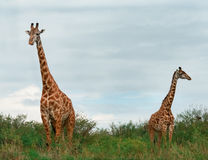 Wild Giraffes in the savanna Stock Image