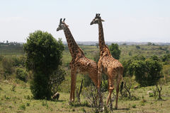 Wild giraffes Royalty Free Stock Photos