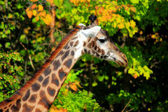 Wild girrafe in the trees. Wild giraffe with blurred trees in background Stock Image