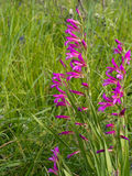 Wild gladiolus plants, flowers, in meadow. Royalty Free Stock Image