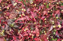Wild Globe amaranth. In the garden Stock Photography