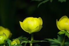 Wild globeflower or Trollius europaeus flower macro with bokeh background, selective focus, shallow DOF.  Royalty Free Stock Photography