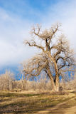Wild Gnarly Tree on the Colorado Prairie. Wild bare gnarly tree stands tall and twisted in an open wild area on the Colorado prairie.  There are new spring Stock Photography