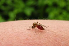 Mosquito on woman hand drinking blood, Lithuania Royalty Free Stock Photography