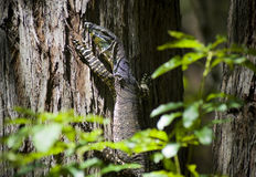 Wild Goanna Royalty Free Stock Images