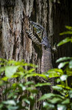 Wild Goanna Royalty Free Stock Photography