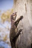 Wild Goanna Stock Photos
