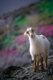 WILD GOAT 1. Goat isolated against a Rock- Gokceada-Turkey stock photos
