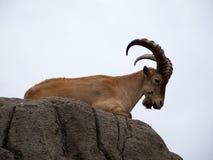 Wild Goat Stock Photography