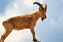 Wild Goat Royalty Free Stock Image