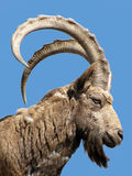 Wild goat. Head of wild goat over blue sky Royalty Free Stock Photography