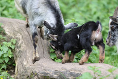 Wild Goat Royalty Free Stock Photography