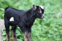 Wild Goat Stock Image