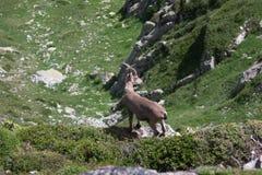 Wild goat. Single wild goat in Alps mountains Royalty Free Stock Photo