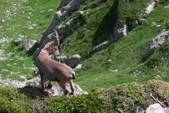 Wild goat. Single wild goat in Alps mountains Stock Images