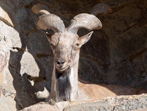 Wild goat. Is on the rocks in Moscow Zoo Stock Photo