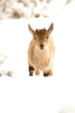 Wild goat Royalty Free Stock Photos
