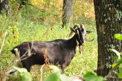 Wild goat Stock Photos