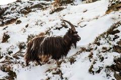 Wild Goat Stock Photos