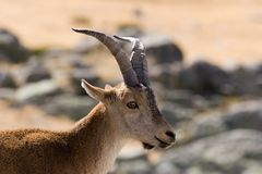 Wild goat Stock Photography