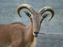 Free Wild Goat Royalty Free Stock Images - 971409