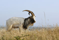 Wild Goat on Bean Down Royalty Free Stock Images