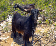 Wild goat Royalty Free Stock Photo