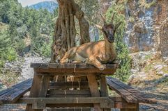 Wild goat called Kri-Kri and her baby sitting on a table in Samaria Gorge on Crete Royalty Free Stock Photography